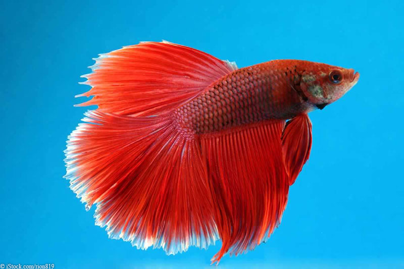 Update live fish given away with volleyball tickets peta for Fish that get along with betta