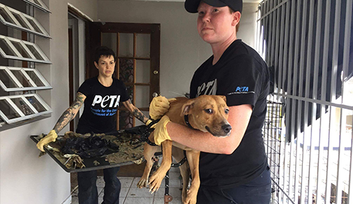 PETA rescuer carrying a dog to safety