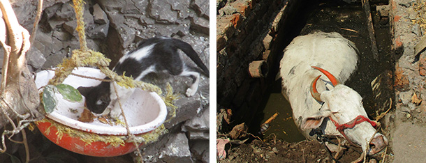 Kitten stepping into tub. Cow in sewer pit.
