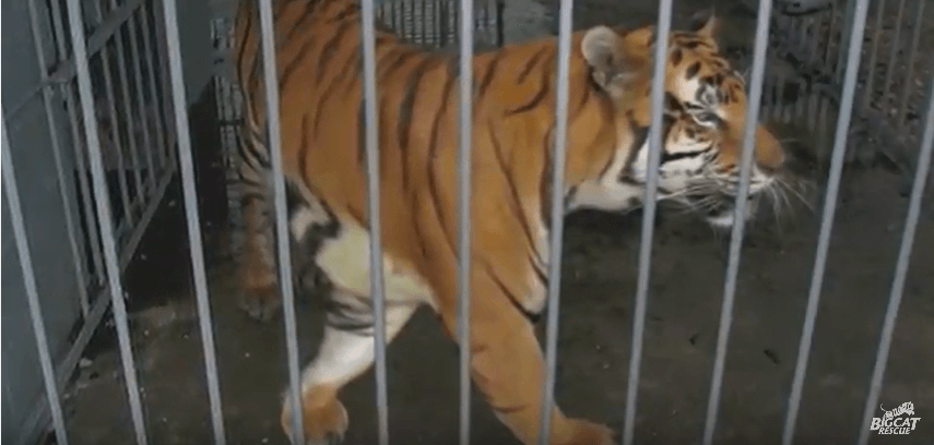 Tony the tiger in cage