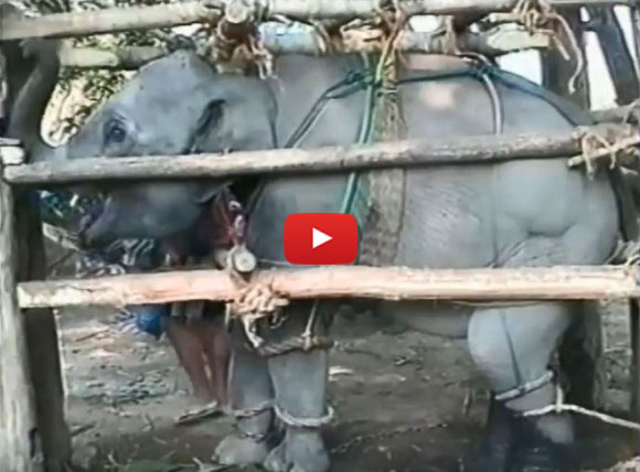 Elephants are beaten and chained for tourists