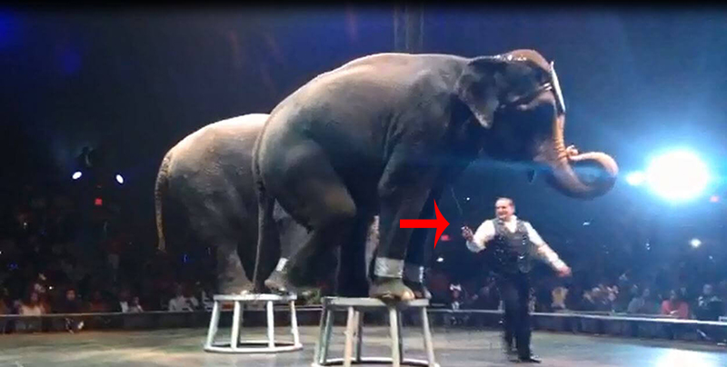 elephants at UniverSoul threatened with bullhook