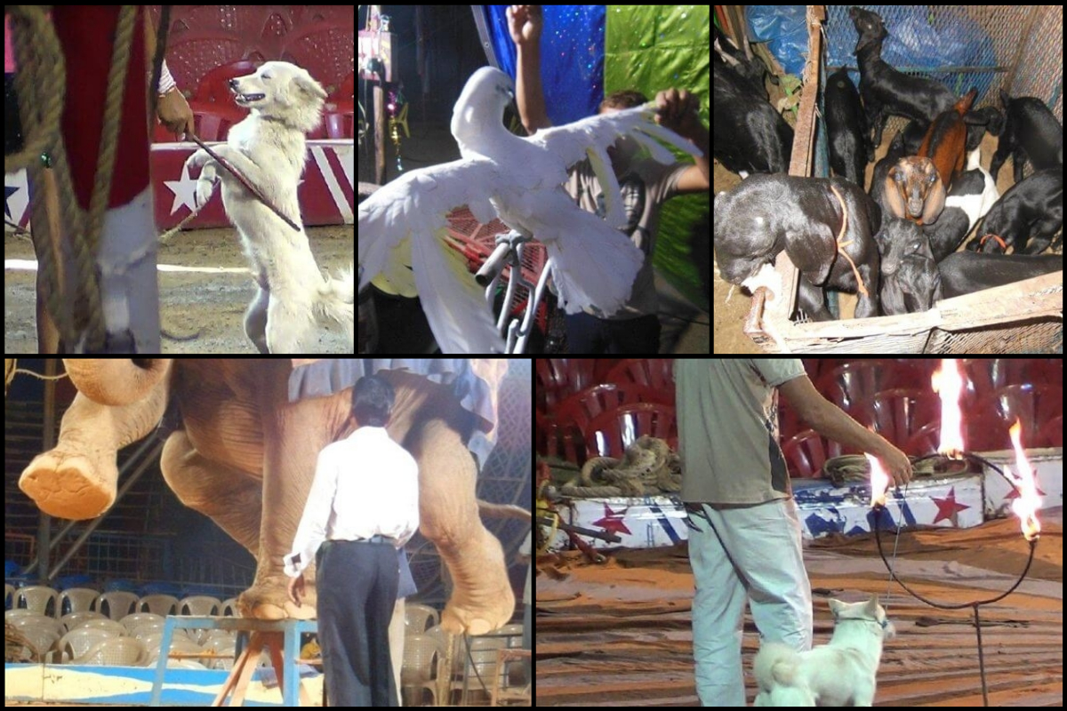 animals used in circus acts