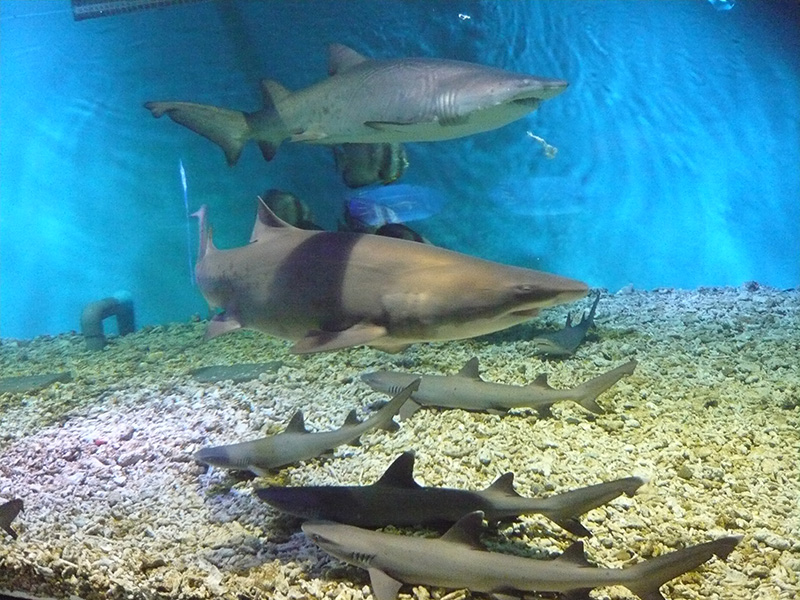 sharks at aquarium