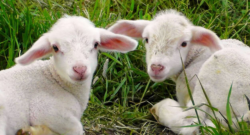 Antioch College Plans To Slaughter 9 Lambs Take Action Now