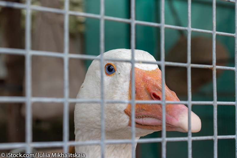 white caged goose