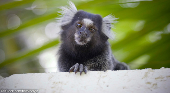 marmoset in forest