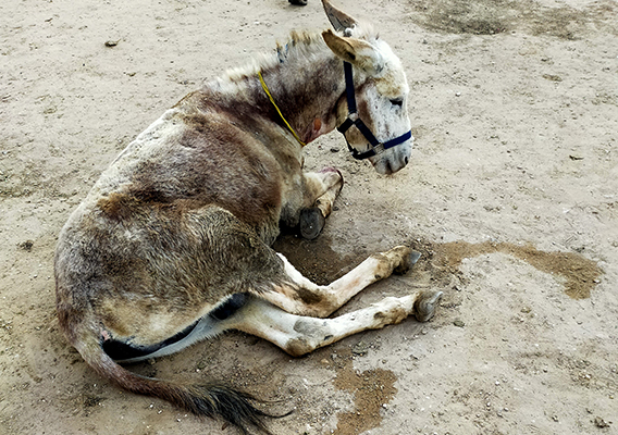 Donkey beaten so badly his ear was nearly detached