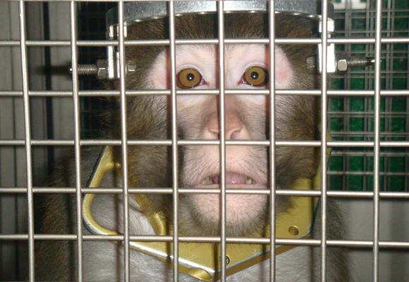 In between painful experiments, monkeys are confined to barren steel cages.