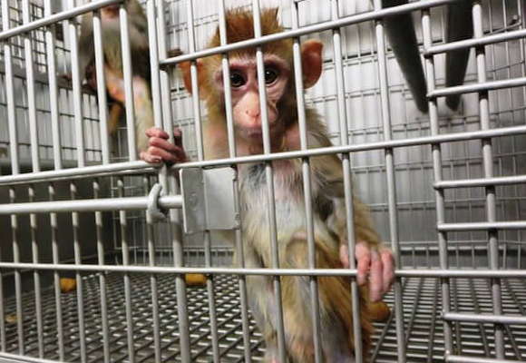 Alone and scared, primates used for testing live out their days in utter agony.