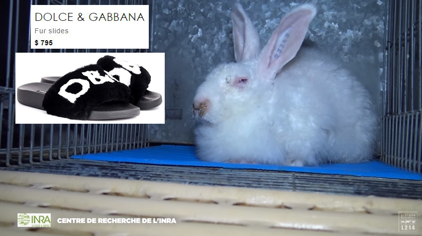 Dolce & Gabbana Exposed: Investigation Reveals Rabbits Are Tortured ...