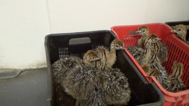 photo of young ostriches in baskets