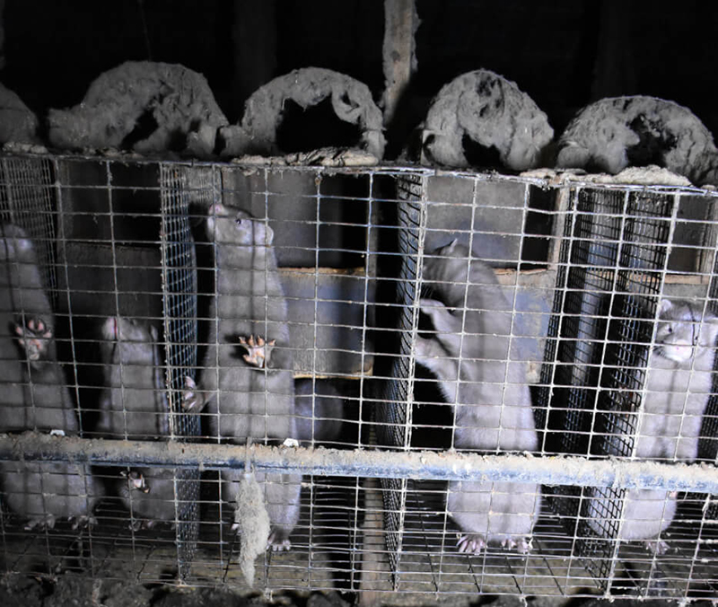 animals in cages on fur farm