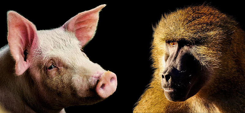 photo of primate and pig