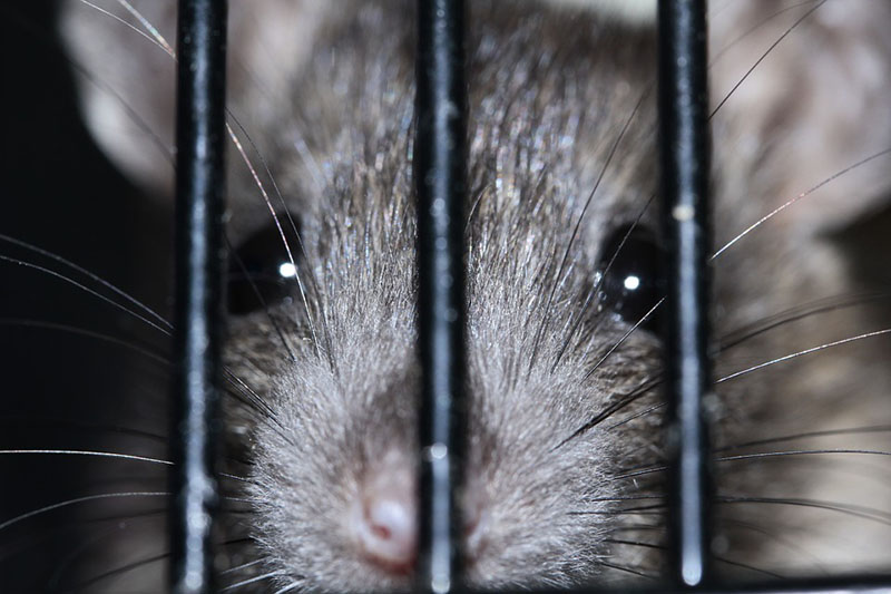 rat behind bars close up
