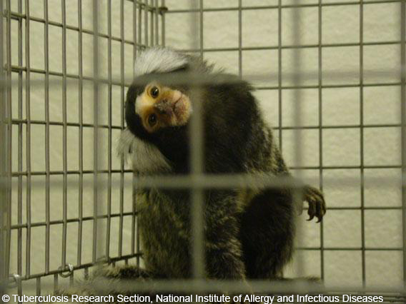 marmoset in lab