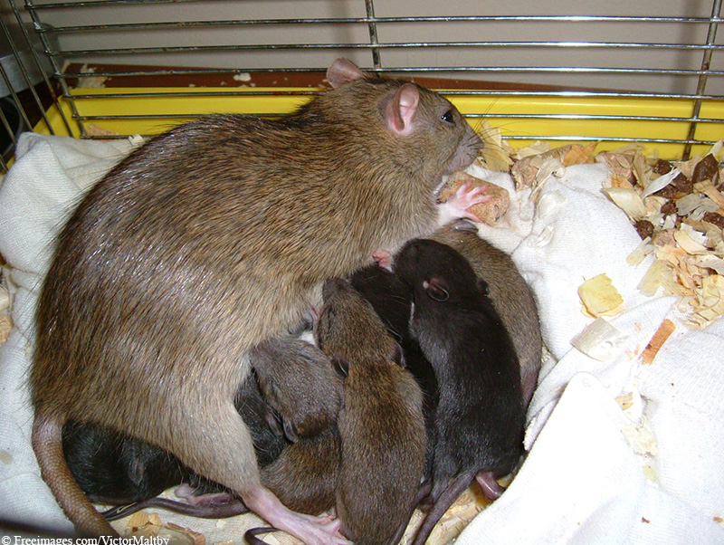 newborn rats and mother