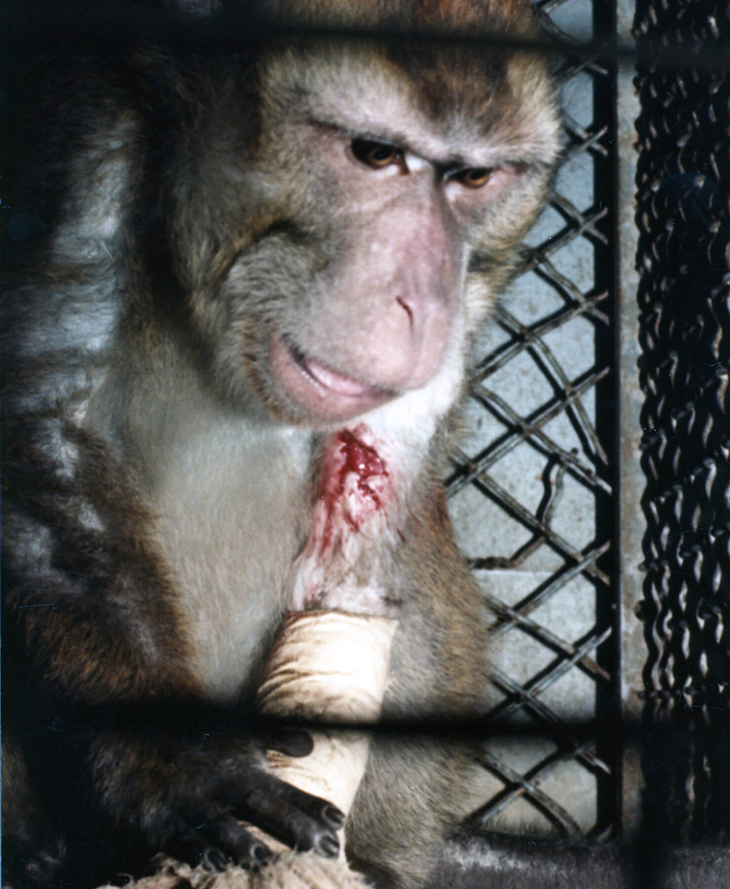monkey with bleeding arm
