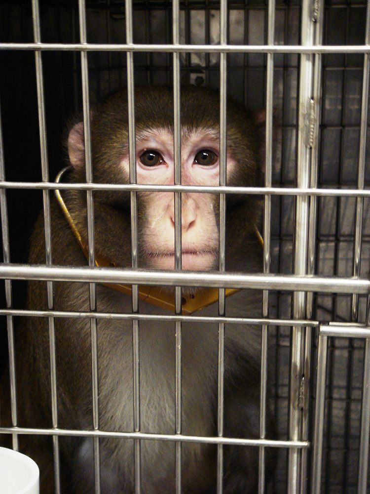 sad macaque in lab