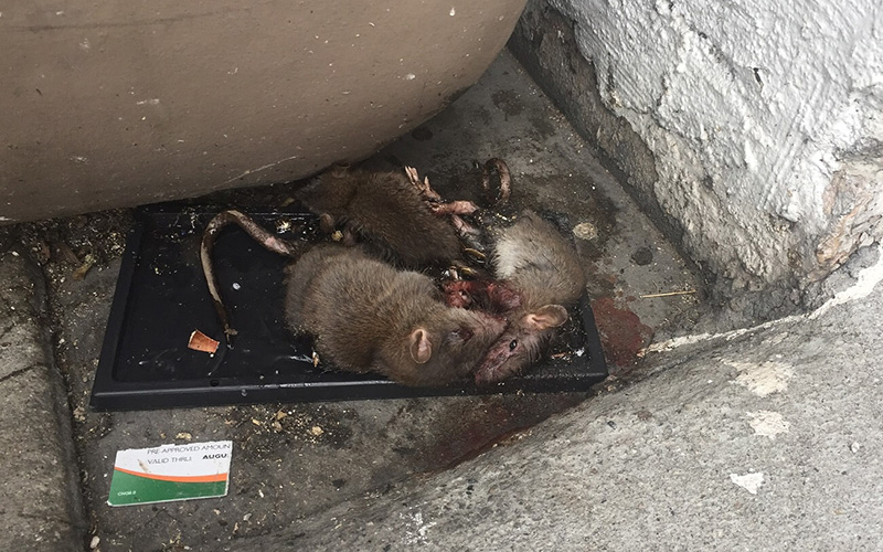 rodents on glue trap