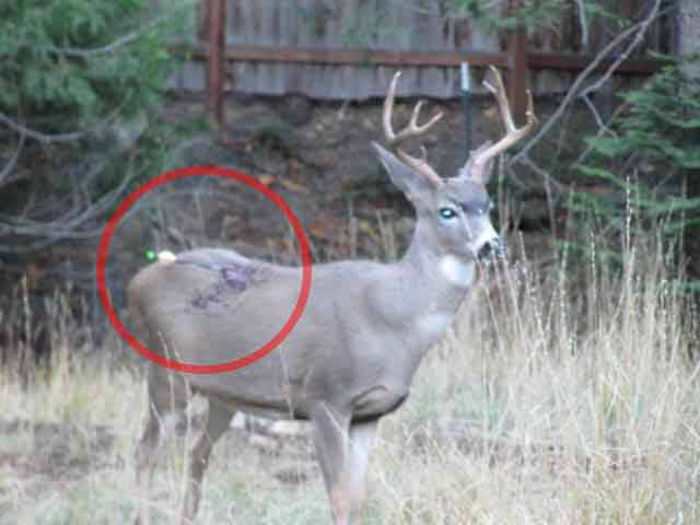 deer shot with arrow