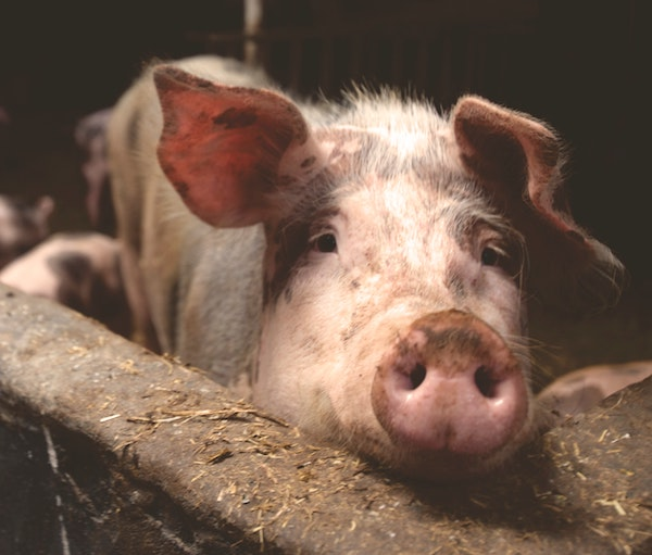 pig in factory farm