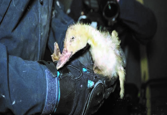 Chuck the Duck being rescued