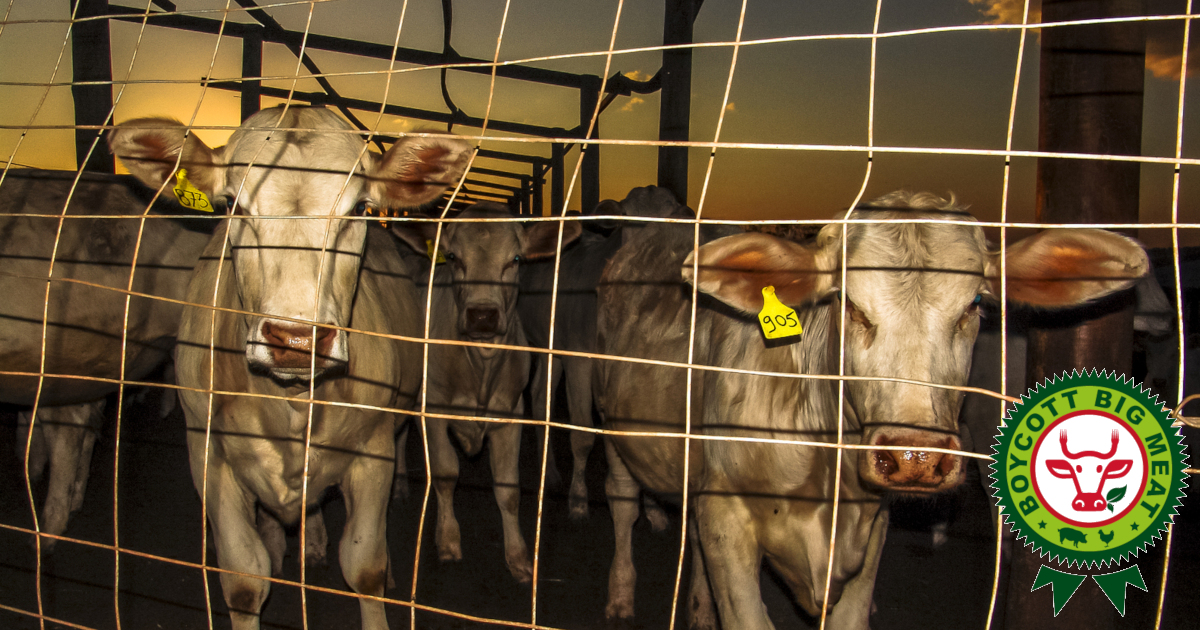 white cattle cows on a factory farm CAFO with the BOYCOTT BIG MEAT logo