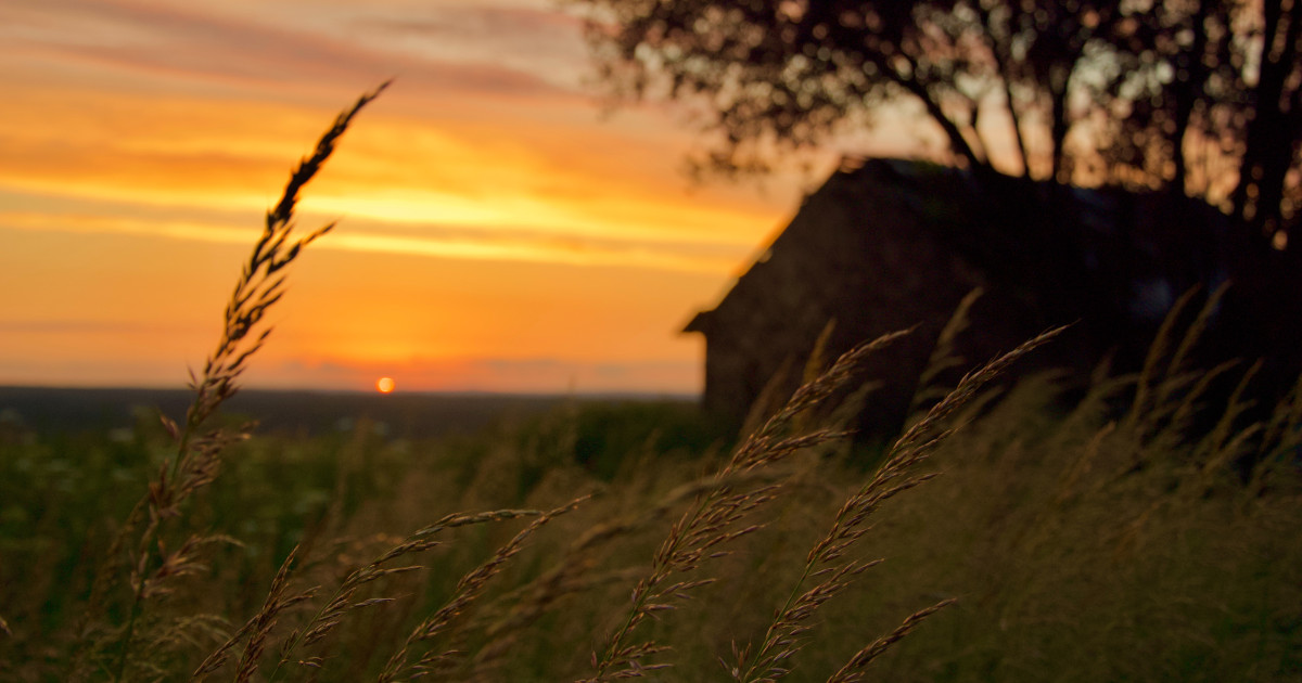 farm field of wheat by a barn at sunset