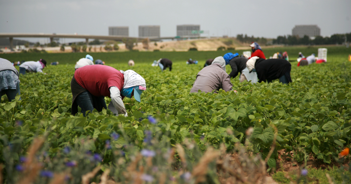 farmers in a crop field harvesting green beans