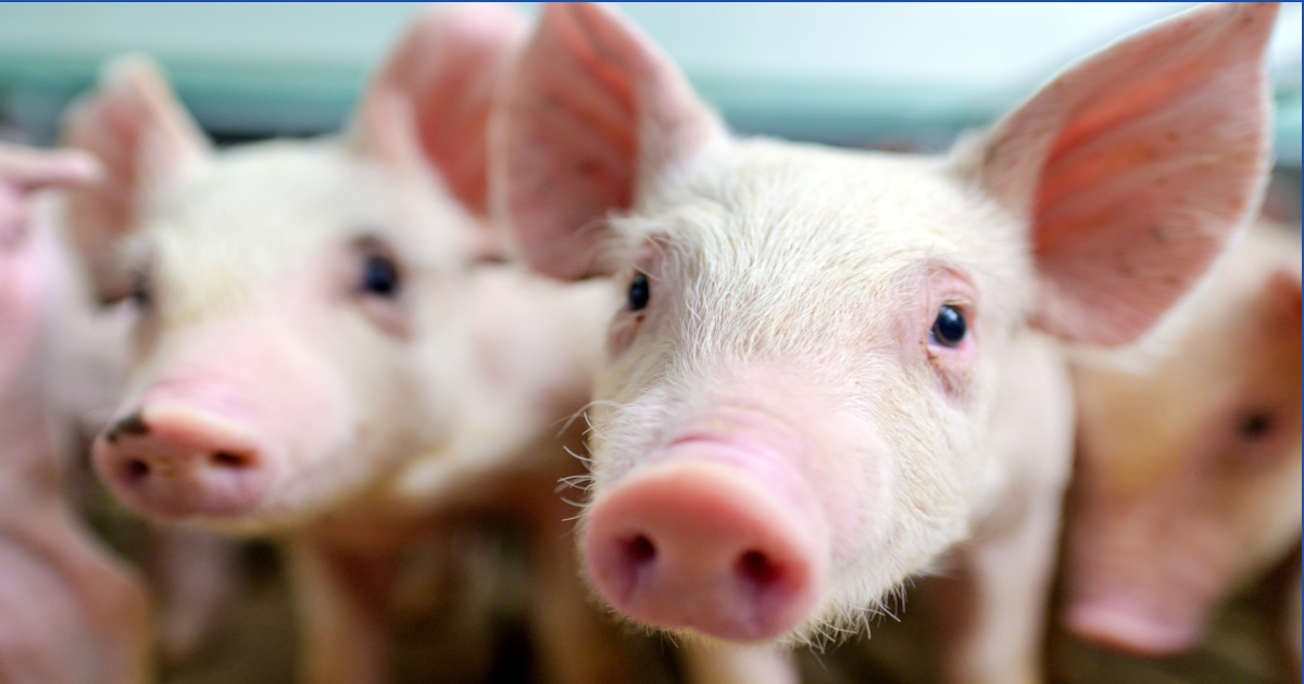 pink hog piglets in a factory farm cafo