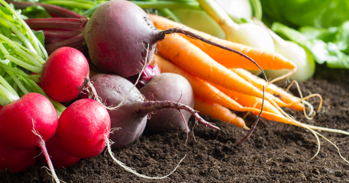 root vegetables including radishes beets carrots and kohlrabi at harvest time on a bed of soil