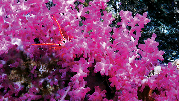 gorgonian soft coral with eunumid crab