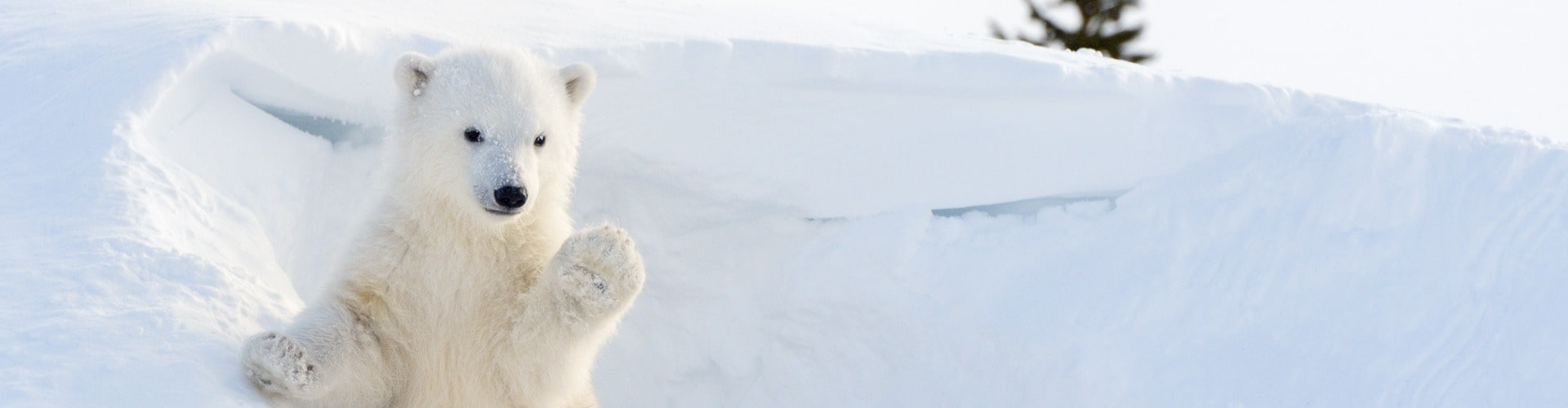Arctic drilling is endangering the polar bears