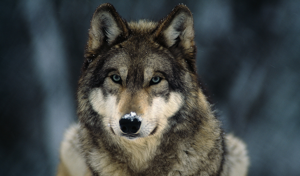 Gray Wolf, (c) Isster17/Wikimedia Commons