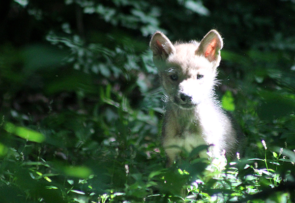 Mexican Gray Wolf Pup (c) Rebecca Bose/Wolf Conservation Center