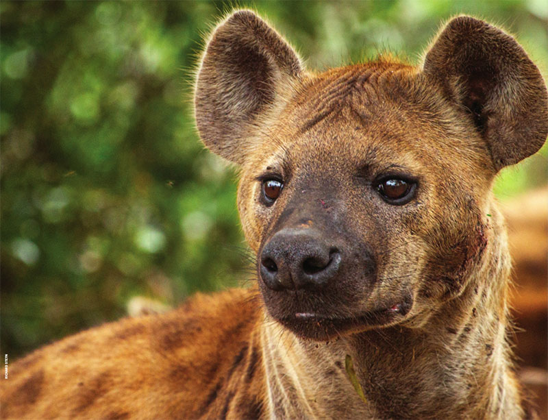 photo of a handsome hyena