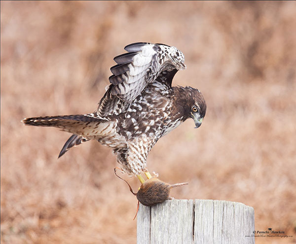 photo of a hawk carrying a gopher